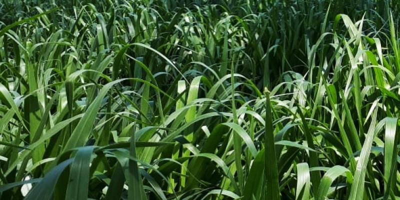 Mulato II, excelente alternativa para producción de carne y leche en zonas tropicales